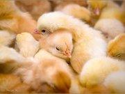 продам цыплят суточных,  подрощенных!