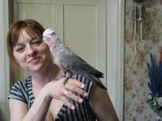 Птенцы - выкормыши розового какаду.