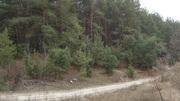 Участок в сосновом лесу.