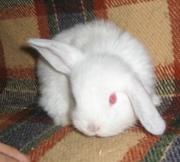 карликовые кролики всех пород, окрасов и возрастов для Вас