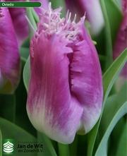 Продам луковицы тюльпанов и гиацинтов из Голландии.
