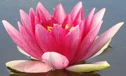 Водяные лилии,  кувшинки,  нимфеи,  водяной гиацинт,  водяной ирис