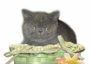 Экзотические короткошерстные и персидские котята