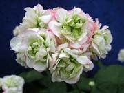 Розебудная пеларгония(герань)