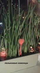 саженцы финиковой пальмы