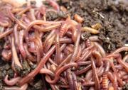 Красный калифорнийский червь(red worms eisenia fetida)