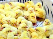 Суточные цыплята мясо-яичной породы Геркулес. В наличии с февраля 2017 года.