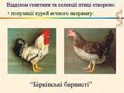 Суточные цыплята кур яичной породы Борковская барвыстая. В наличии с февраля 2017 года.