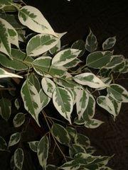 Фикус Бенджамина 2 вида 300грн за 1 цветок
