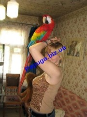 Элитные попугаи из питомника.