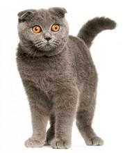 В добрые руки шотландскую вислоухую кошку
