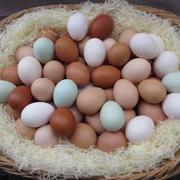 Инкубационное яйцо породы хайсек