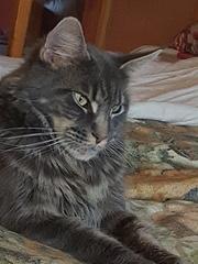 Предлагаю котят породы Мейн-кун(Бронированиt)  продаже.Дата рождению