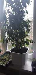 Фикус Бенджамина и много других комнатных растени