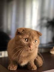 вислоухий котенок эксклюзивного окраса
