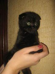 Шотландские котята мальчик, девочки цвета черной пантеры.