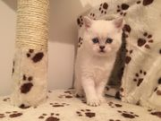 Супер котята шотландцы