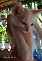 отдам милого бело-рыжего котика